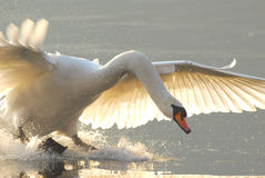 Cygne d'atterrissage Photographie stock