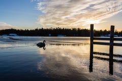 Cygne d'hiver Photo libre de droits