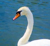 Cygne d'oiseau Tête blanche de cygne Image libre de droits