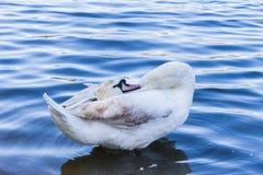 Cygne dans l'étang Image libre de droits