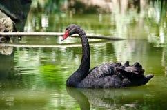 Cygne dans l'étang Photographie stock libre de droits