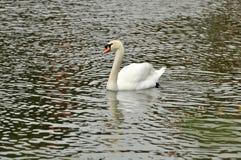 Cygne dans l'étang Photo stock