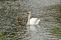Cygne dans l'étang Photographie stock