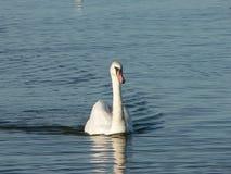 Cygne dans l'eau Photo libre de droits