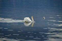 Cygne dans l'eau Images libres de droits