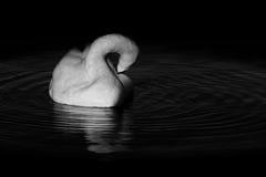 Cygne dans l'eau de ondulation circulaire photographie stock