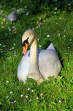 Cygne dans l'herbe Photographie stock