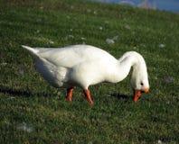 Cygne dans l'herbe Photo libre de droits