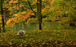 Cygne dans la forêt Photo stock
