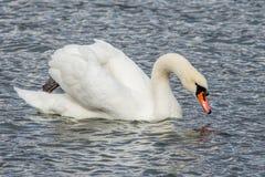 Cygne dans la natation de lac d'isolement Photos libres de droits