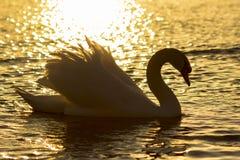 Cygne dans le coucher du soleil Photo libre de droits