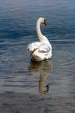 Cygne dans le lac Photo libre de droits