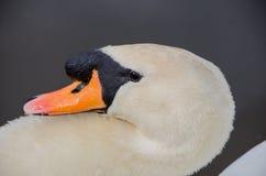 Cygne dans le lac Images libres de droits