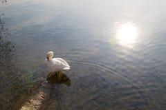 Cygne dans le lac de Lugano photo libre de droits