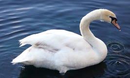 Cygne dans le lac nageant paisiblement Image de photo image libre de droits