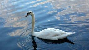 Cygne dans le lac nageant paisiblement Image de photo image stock