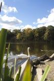 Cygne dans le lac Ontario Images libres de droits