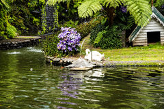 Cygne dans un beau jardin chez Monte au-dessus de Funchal Madère Images libres de droits
