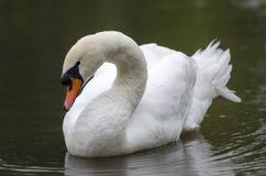 Cygne dans un lac Image libre de droits