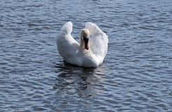 Cygne dans un lac photos libres de droits