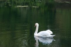 Cygne dans un lac photo stock