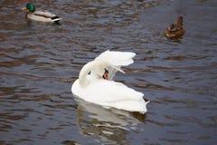 Cygne dans une aile propre d'étang Photos stock