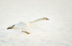 Cygne décollant dans la neige Images libres de droits