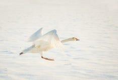 Cygne décollant dans la neige Photographie stock