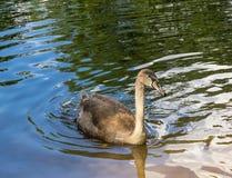 Cygne de bébé, sur le lac Photos stock