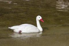 Cygne de Coscoroba qui flotte sur le lac dans un pulvérisateur Images stock