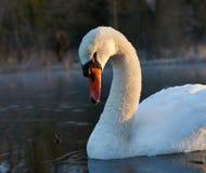 Cygne de début de la matinée au soleil sur un lac Image libre de droits