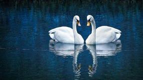 Cygne de deux blancs Photos libres de droits