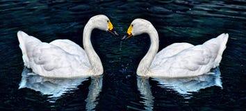 Cygne de deux blancs Photo stock