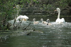 Cygne de famille sur le delta de Danube Images stock