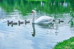 Cygne de mère avec quelques cygnes de bébé de jeunes cygnes de jours nageant paisiblement, dans la ligne, à travers un étang photos stock