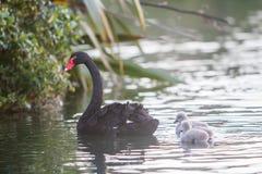 Cygne de mère avec son bébé Photo libre de droits