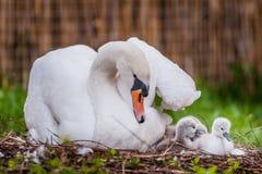 Cygne de mère et petite nature de cygnes Photographie stock libre de droits