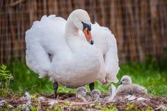 Cygne de mère et petite nature de cygnes Photo stock