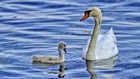 Cygne de maman avec son bébé Photo stock
