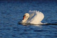 Cygne de natation photographie stock libre de droits