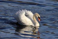 Cygne de natation images stock