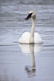 Cygne de trompettiste Images stock