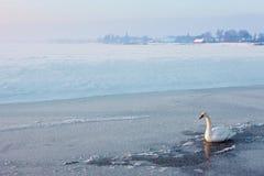 Cygne de Whooer sur la glace Image libre de droits