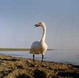 Cygne de Whooper à un lac Photos stock