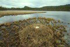 Cygne de whooper d'élevage en rivière de taiga Photographie stock libre de droits