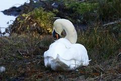 Cygne de Whooper sur son nid lissant Photographie stock libre de droits