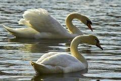 Cygne doux, symboles de l'amour Photos libres de droits