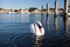 Cygne en mer Images libres de droits