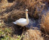 Cygne en roseaux de rive Photo libre de droits
