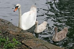 Cygne et bébés de mère Photos stock